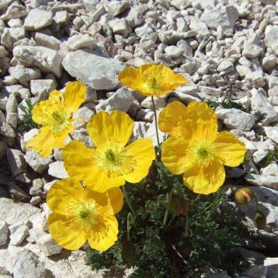 4. Tag: Gelber Mohn im Kalkschutt